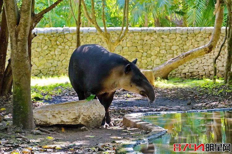 美洲貘是一种奇特有趣的动物