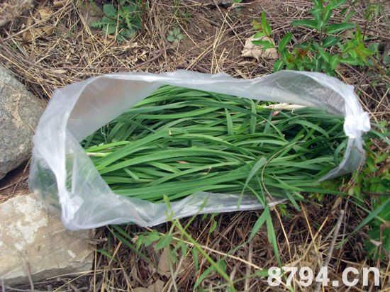 野韭菜的功效与作用主治什么 野韭菜的营养价值成分表