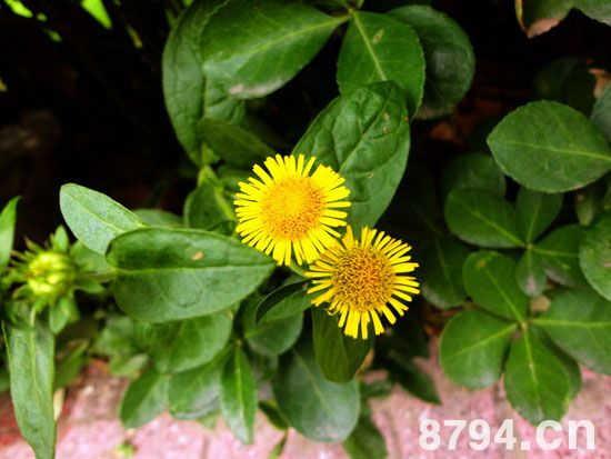 野菊花的功效与作用及食用禁忌 野菊花营养价值成分表