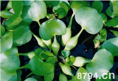 水葫芦的功效与作用及食用禁忌