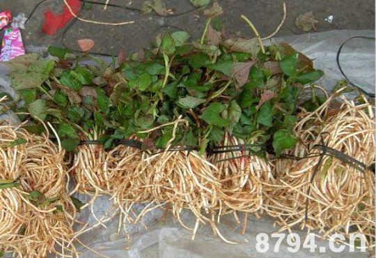 鱼腥草的功效与作用及食用方法 鱼腥草的食用禁忌