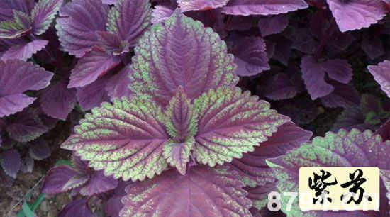 紫苏叶的功效与作用及食用方法 紫苏叶的食用禁忌