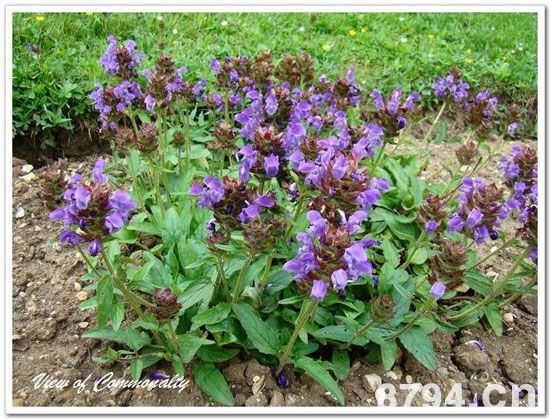夏枯草的功效与作用及食用禁忌 夏枯草的食用副作用