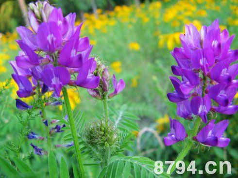 紫苜蓿的人用价值 紫苜蓿的功效与作用