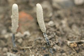 黑柄炭角菌(乌灵参)的功效与作用