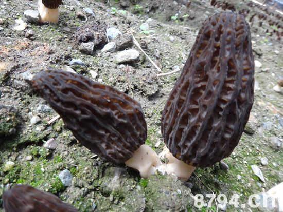 羊肚菌的功效与作用及食用方法 羊肚菌的食用禁忌