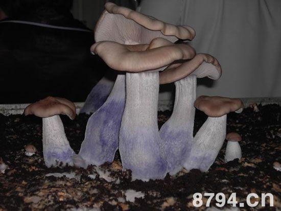 紫丁香蘑的功效与作用