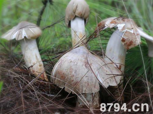 鸡枞菌的功效与作用 鸡枞菌的营养价值成分