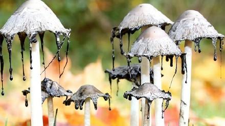 墨汁鬼伞的功效与作用 墨汁鬼伞食用禁忌
