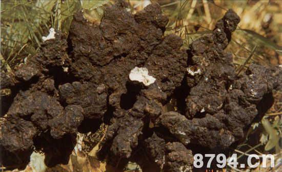 猪苓的功效与作用及食用禁忌 猪苓的药用价值
