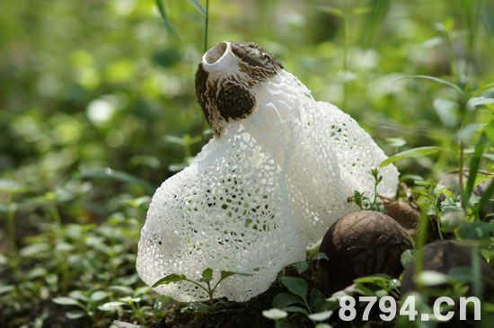 竹荪的营养价值 竹荪的食用功效与作用及禁忌