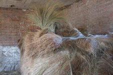 乌拉草的特点 乌拉草之为宝 乌拉草是产于中国东北