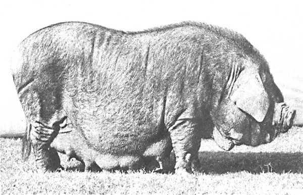 猪饲料猪头素材
