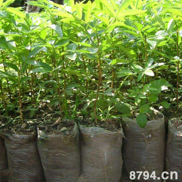 能使花椒树提早结果,提早进入盛果期,一般在嫁接后的第二年就能开花