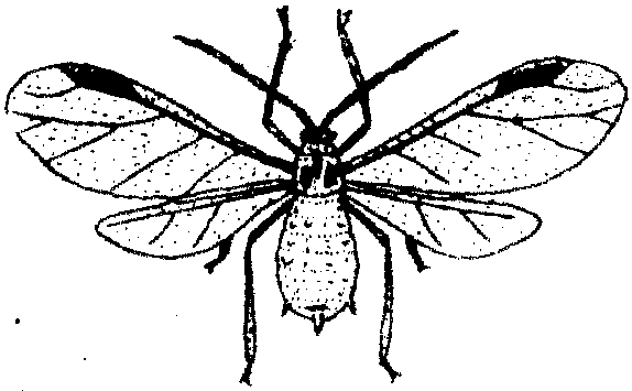 图16 棉蚜   形态特征   有翅蚜: 长1.2~1.9毫米,黄色、浅绿或绿色,前胸背板黑色。翅透明,翅脉排列见图16,腹部背面两侧有黑斑 3~4对,腹管暗黑色。圆筒形,表面有瓦状砌纹。   卵: 椭圆形,长0.5毫米,初产下时橙黄色,后变为亮漆黑色。   若蚜: 无翅若蚜夏季为黄色或黄绿色,春秋季为蓝灰色,复眼红色。有翅若蚜夏季淡红色,秋季灰黄色,胸的两侧生有翅芽,腹部背面有4列白色圆斑。   生活史与习性   棉蚜的生活史较复杂,在华北区一年可繁殖20~30代,以卵在花椒等寄主上越冬。第二年3