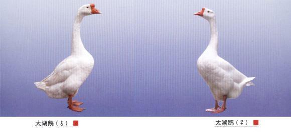 成年鹅怎么分公母-国内优良品种鹅 太湖鹅介绍图片