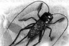 蟋蟀其实是害虫