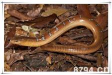 脆蛇的功效与作用及食用禁忌