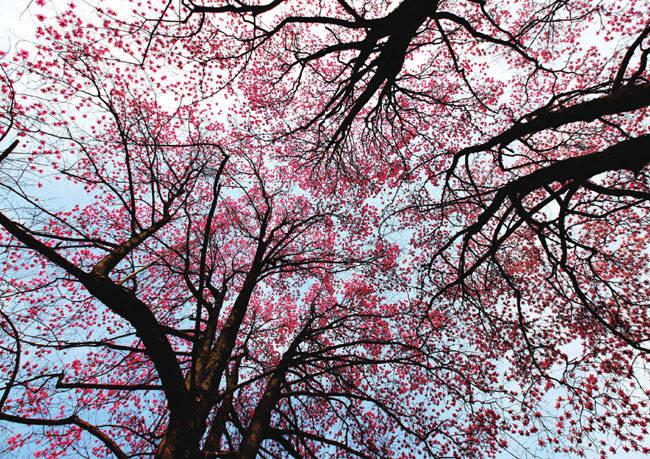 满树的辛夷花处处装点着人们的生活。