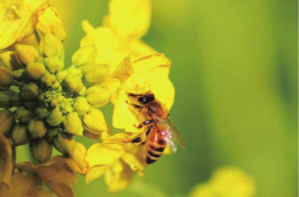 云南最美的地方罗平春风吹过的金色花海 春季罗平旅游攻略