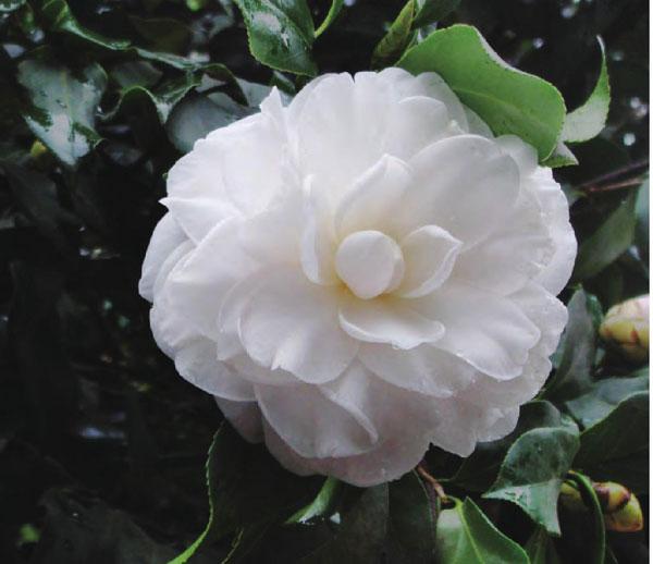 山茶花是云南省昆明市的市花,其树荫浓叶阔,花朵硕大。