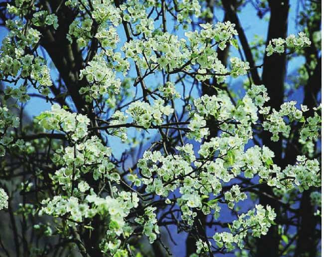 春季,大金川河畔梨花盛开,纯洁而又高雅。