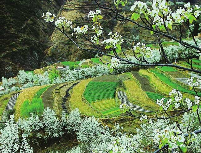 满山梨花争奇斗艳,动人的雪白已成了山间田野的主色调。