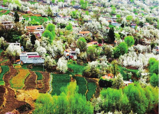 漫山遍野的梨花把房屋掩盖其中,人们好似生活在梨花仙境。