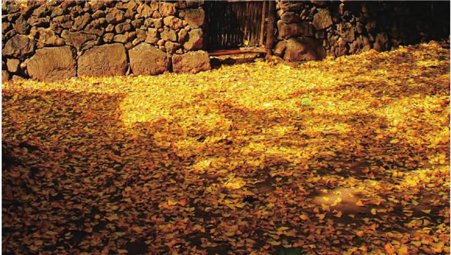 满地金黄的银杏给乡村人家增添了一丝丝浪漫气息。