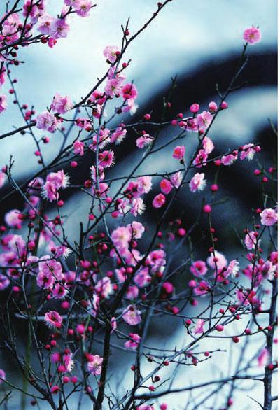 """""""临寒独自开""""的梅花,让南京的整个冬天都萦绕 着幽幽梅香。"""