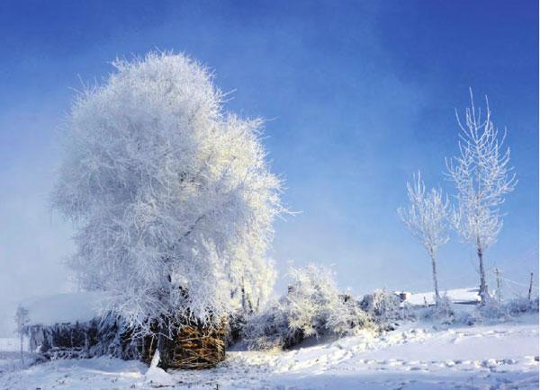 晶莹而细碎的冰条挂满树头,令整个雪地更加圣洁。