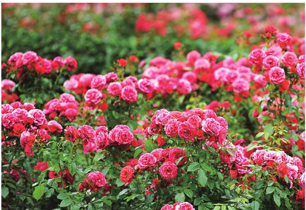 保加利亚·玫瑰谷