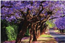 南非比勒陀利亚最佳旅游季节 蓝花楹的唯美梦境