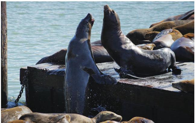 旧金山渔人码头是海狮与海燕共同的栖息地,它们在这里悠闲嬉戏。