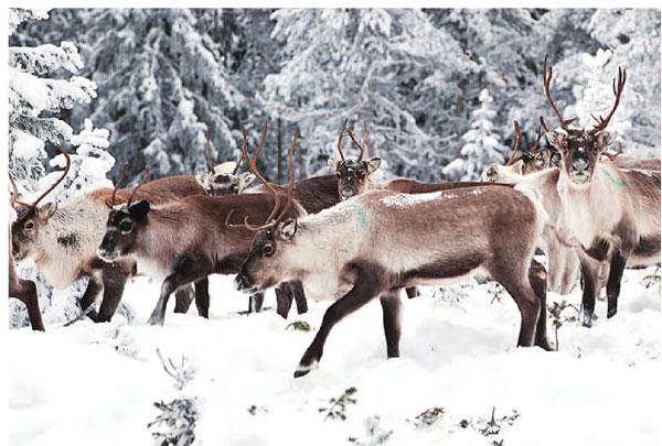 这里的驯鹿总是成群结队地出入。