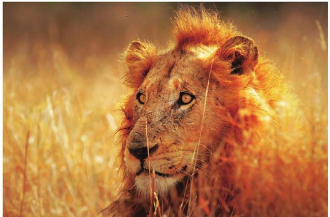 一头雄狮在草丛中凝神远望,随时准备向猎物发起进攻。