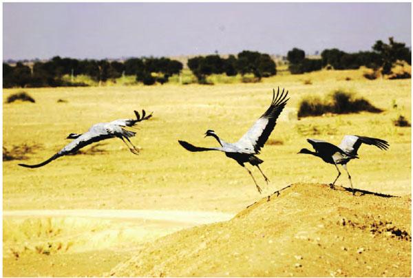 每年冬天,飞跃喜马拉雅雪峰而来的蓑羽鹤为沧桑的拉贾斯坦邦带来一丝生机。