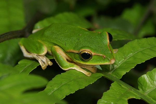 青蛙的功效与作用及食用禁忌 青蛙食疗方选