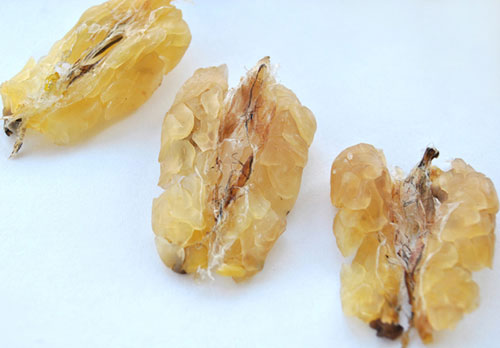 蛤蟆油的功效与作用及食用方法 蛤蟆油食用禁忌与性味归经